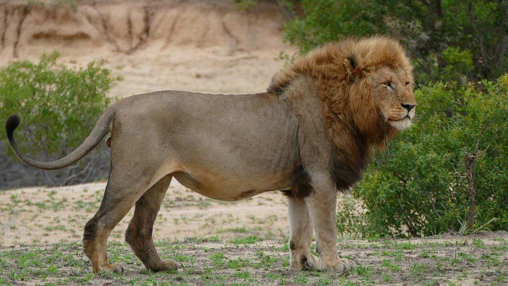 Pria Pakistan yang Pelihara 800 Harimau dan Singa